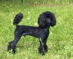 different toy poodle cuts poodle cuts pictures of different poodle cuts page 2 poodle