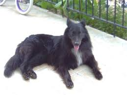 belgian sheepdog laekenois belgian sheepdog belgian sheepdogs breed