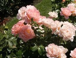 portland oregon u0027s rose garden part 2 steve snedeker u0027s