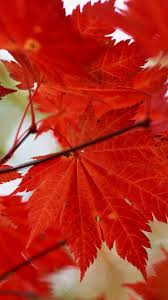 download wallpaper 720x1280 leaves autumn dry maple samsung