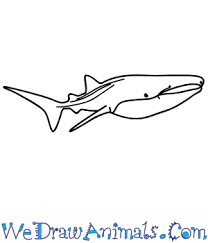 how to draw a whale shark