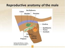 Internal Dog Anatomy Slides And Notes For Basic Reproduction Of The Dog
