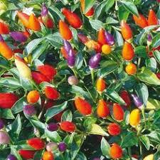 explosive ember a pretty ornamental pepper featuring purple