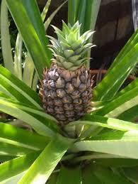 botanical sts national flower of u s islands flower caribbean