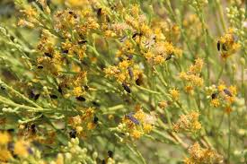 native plant and seed bug outbreaks in kern county high desert pests in the urban