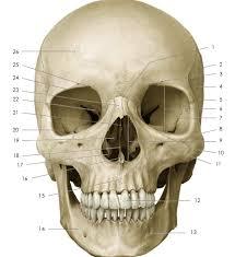 Human Anatomy Anterior Human Anatomy Anterior Skull Anatomy Quiz Skull Anatomy Diagram