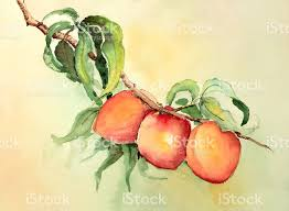 watercolor painting of peaches or apricots on a branch stock