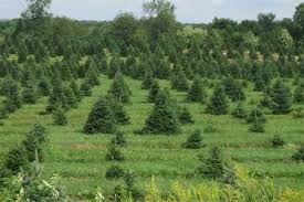 places to cut your own christmas tree rocparent com