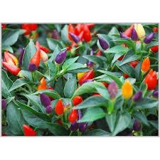 de 118 bästa ornamental peppers bilderna på