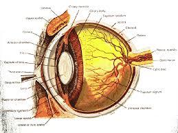 Anatomy Of The Eye Eye Anatomy Gif
