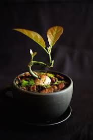 avocado tree as indoor bonsai u2022 helpfulgardener com
