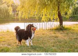 australian shepherd vocal shetland sheepdog sheltie collie play with ball outdoor in