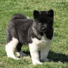 belgian sheepdog for sale in texas akita puppies for sale akita dog breed information greenfield