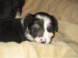 australian shepherd x puppies for sale miniature australian shepherd puppies for sale mini aussie