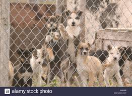 eskimo sled dog puppies shishmaref alaska stock photo royalty