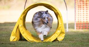 Backyard Agility Course Create Your Own Obstacle Course On A Budget Cesar U0027s Way