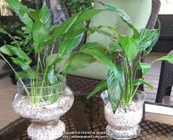 peace lily ask a question forum can a peace lily come back from root rot