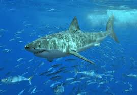 psa what you need to know about great white sharks off of cape cod