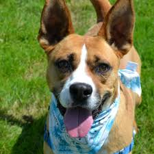 boxer dog for adoption dogs for adoption boxer in rochester new york petcurious