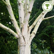 betula utilis jacquemontii doorenbos white bark birch trees