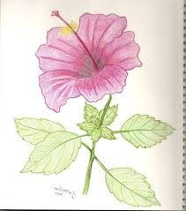 draw the longitudinal section of hibiscus flower drawing artistic