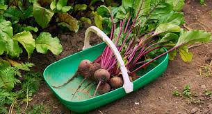 A Root Vegetable - beetroot bbc good food