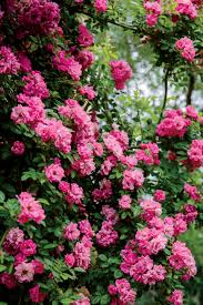 native climbing plants rose u2013 rosa u2013 southern living