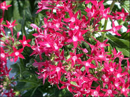 pentas flower plant id flowers and foliage pentas florida master gardener