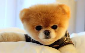 beautiful boo puppy dog photos hd wallpapers images pictures boo