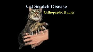 cat scratch fever everything you need to know dr nabil