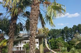 palm trees in stock walkers palms and plants nc serving