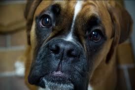 boxer dog boxer dog info and health tips