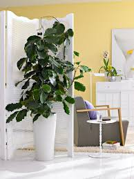 tetrastigma indoor plant decor solutions pinterest plants