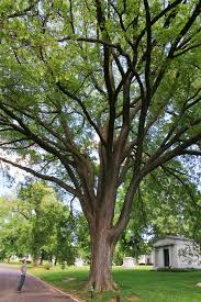 bellefontaine cemetery holds three state chion trees missouri