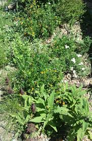 california native plant about u2014 everyday ecology