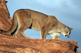 Utah wildlife images Wildlife board approves increase in cougar hunt permits kuer 90 1 jpg