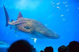 okinawa aquarium attempting world u0027s first captive breeding of
