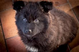 belgian shepherd labrador cross belgian sheepdog dog breed information pictures characteristics