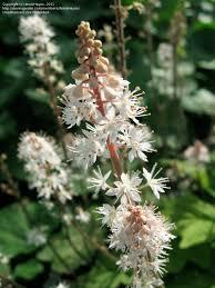plants native to tennessee plantfiles pictures foamflower foam flower tiarella wherryi by