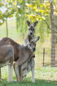 kangaroos lake tobias
