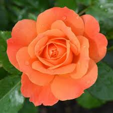 wallpaper bunga warna orange 70 best bunga mawar images on pinterest roses rose and beautiful