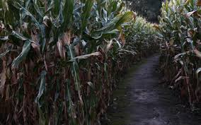 the country u0027s creepiest haunted corn mazes for halloween travel