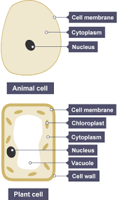 bbc bitesize ks3 biology cells to systems revision 3