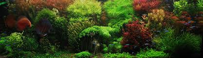 Live Plants In Community Aquariums by 9 Best Freshwater Aquarium Plants For Beginners Home Aquaria