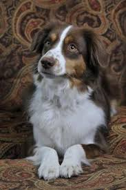 australian shepherd kennel club 10 things only an australian shepherd owner would understand 10