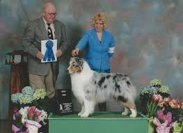 australian shepherd kennel club jndsaustralianshepherds
