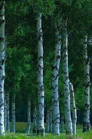 640x960 birch trees iphone 4 wallpaper