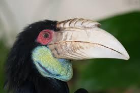 wreathed hornbill rhyticeros undulatus hotspot birding