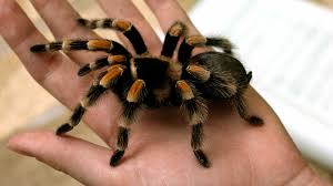spirit halloween jumping spider tarantula closeup hand ngsversion 1396530853891 jpg