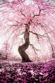 13 best cherry blossom images on pinterest nature cherries and